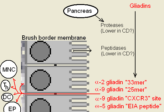 "Gluten digestion ( Note: The ""CXCR3"" binding domain binds the epithelial cell, through a cascade results in the weakening of tight junction, allowing larger peptides to enter) / wikimedia *"